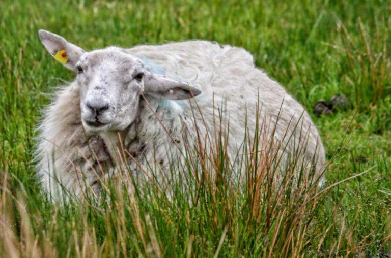 """""""cucciolo agnello riposa in prato irlanda"""""""