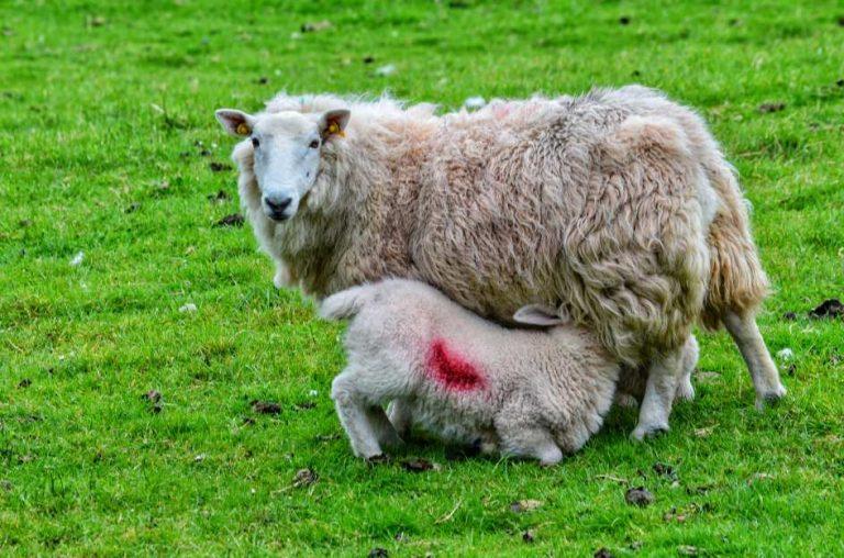 """""""cucciolo agnello mangia da mamma"""""""