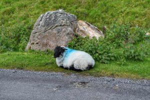 """""""irlanda cucciolo pecora dorme bordo strada"""""""